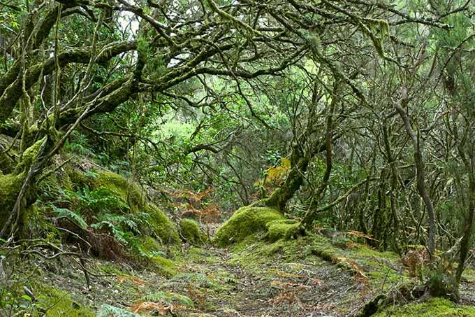 rainforest in garajonay national park la gomera canary islands spain 680